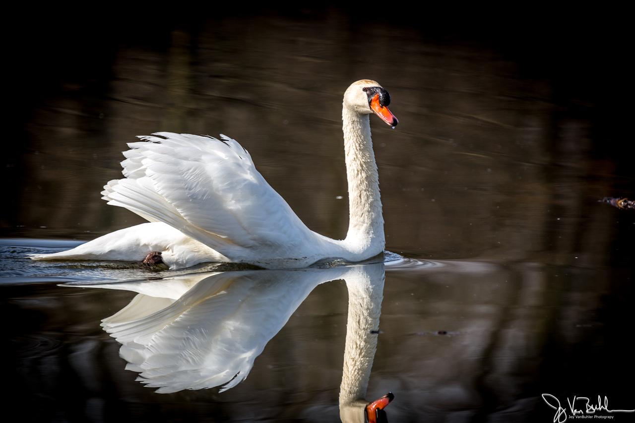14/52-3: Swan