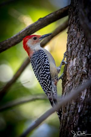 39/52-2: Red-bellied Woodpecker