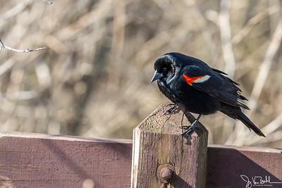10/52-1: Red Winged Black Bird