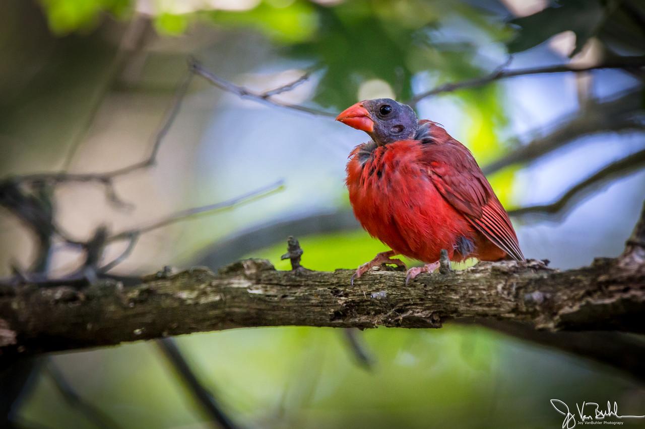 33/52-2: Cardinal