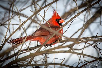 1/52-2: Cardinal