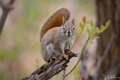19/52-5: Squirrel