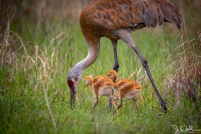 19/52-4: Sandhill Cranes
