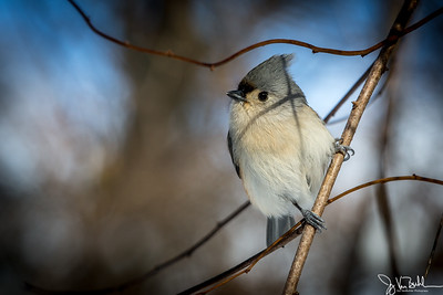 1/52-3: Tufted Titmouse