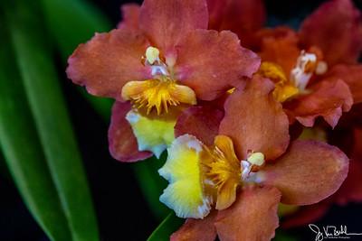 11/52-1: Orchid Festival at Matthaei