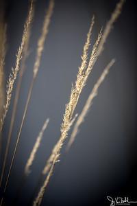 10/52-3: Fountain Grass