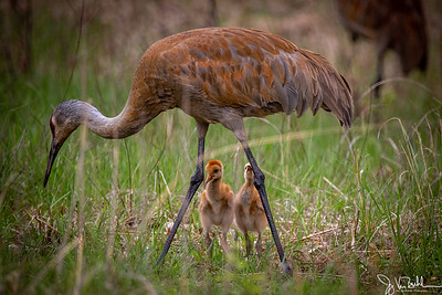 19/52-3: Sandhill Cranes