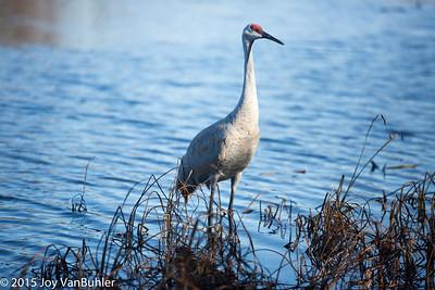 46/52-3: Sandhill Crane