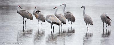 48/52-3: Sandhill Cranes