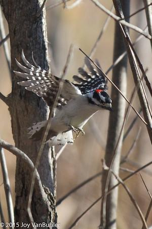 46/52-5: Woodpecker