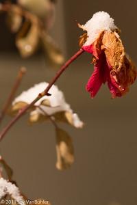 1/11/11 - Winter Rose