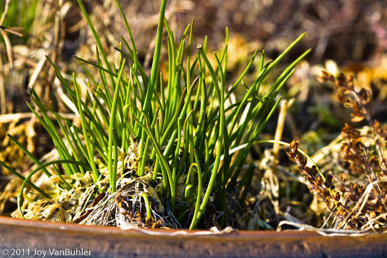 3/26/11 - Despite the fact that it has gotten a little bit colder again, my plants still seem to be finding a way to poke out of the ground.  My chives, which I moved to a container last year and wasn't sure they would make it , seem like they don't care about a little cold weather