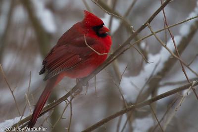 1/7/11: Cardinal at Kensington