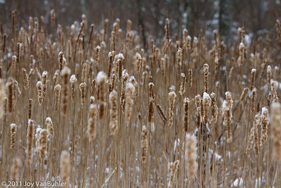 1/29/11 - Cattails in the Nature Center at Kensington Metropark
