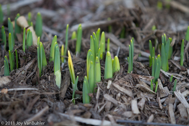 3/18/11 - These bulbs were not even poking out of the ground yesterday.  Today, they are at least an inch high.  Please, please don't let it snow again!