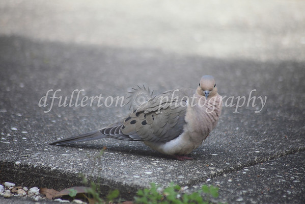 One late March morning, I so happened to catch this Morning Dove within a few feet of the door.  Thankfully it wasn't scared for some quick pictures!   3-28-10  <br /> <br /> I'm sure if I can see it, there's no doubt it also sees me with a look like that :)