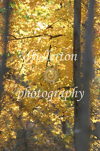 Various shades of golden leaves near the photographer's home.  Captured late 2008.