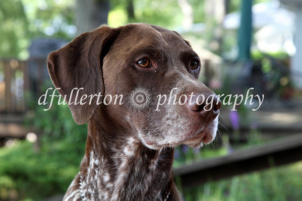 """During the 4th of July Holiday, the photographer was also able to capture this shot of """"Hunter"""" - a German Shorthaired Pointer, 7-5-09."""