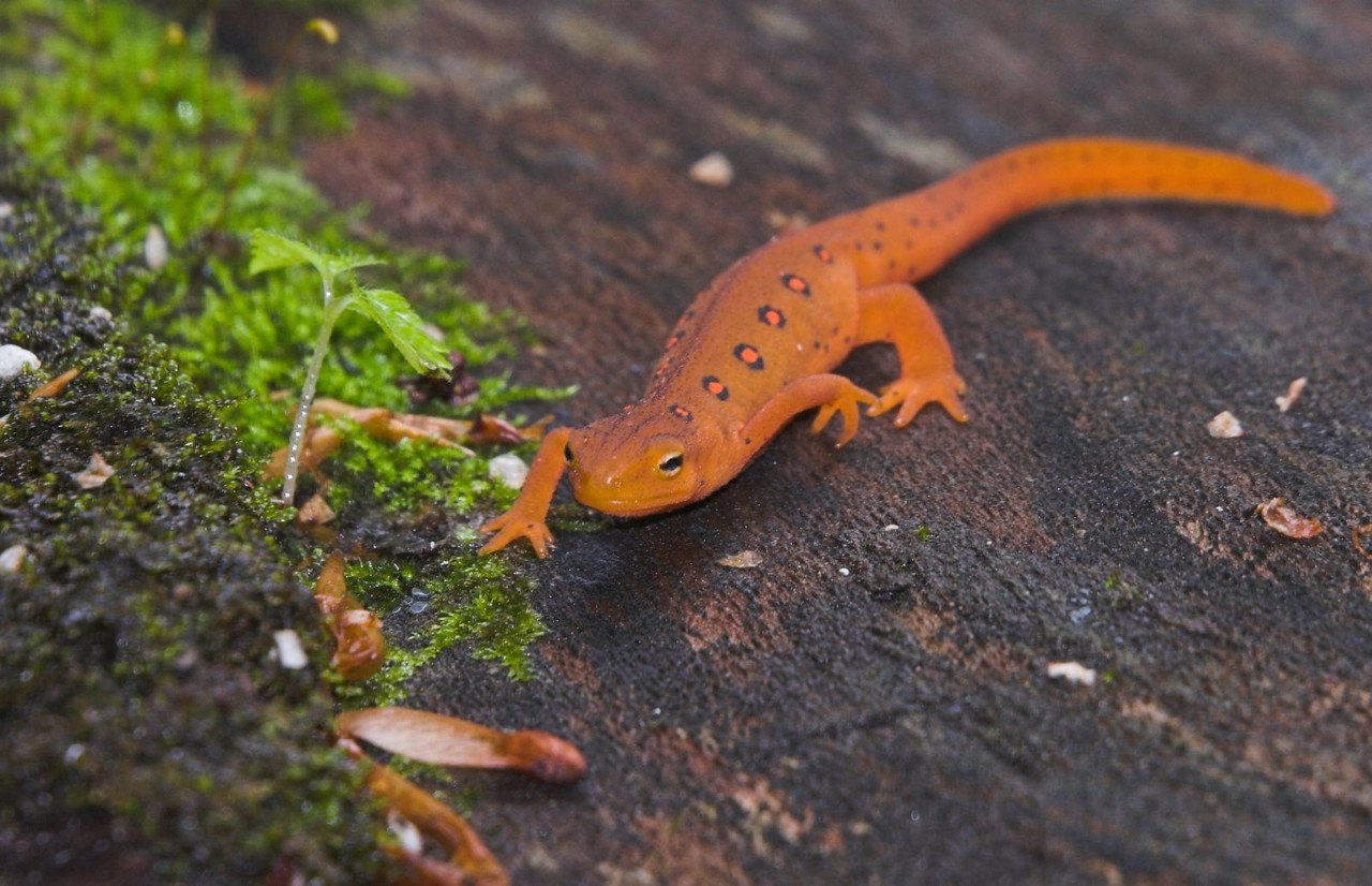 Red Spotted Newt, Falls of Hills Creek, Monongahela National Forest, West Virginia