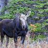 ~ Curious Moose ~