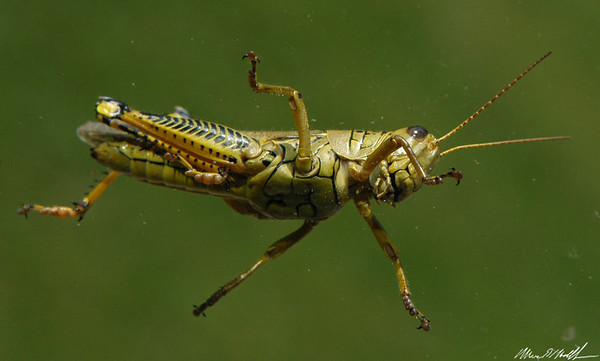 Macro Backyard 10 grasshopper