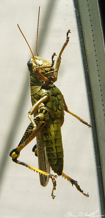 Macro Backyard 09 grasshopper