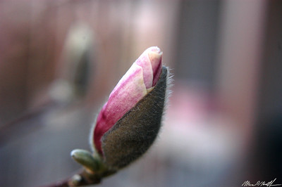 Flower Bud Blossoming 03