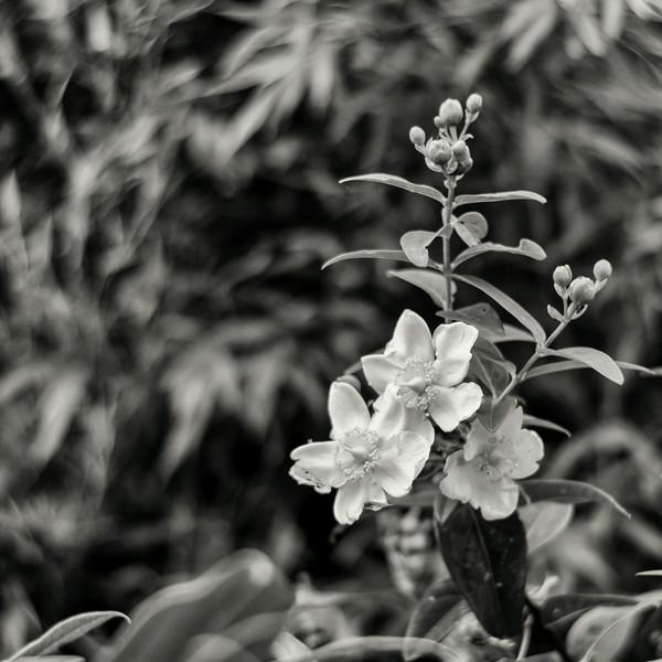 Petzval flowers
