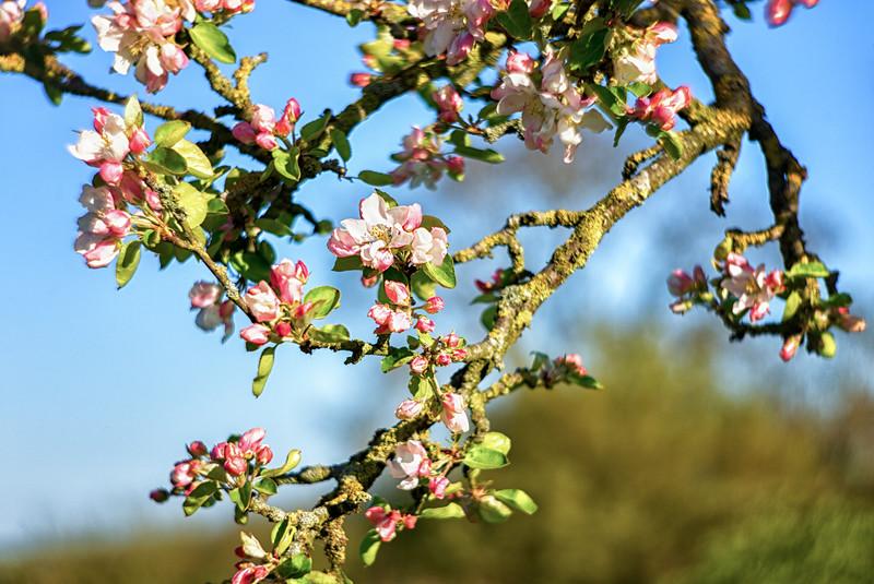 Giving Tree Blossom