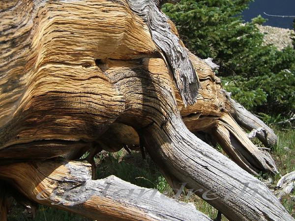 12 - Lying Bristlecone Pine - Monarch Pass, CO