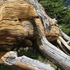 12 - Lying Bristlecone Pine - Monarch Pass, CO