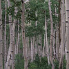 9 - Aspens near Cottonwood Lake, CO