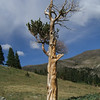 11 - Half Alive Bristlecone Pine - Monarch Pass, CO