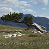 10 - Bristlecone Pine - Monarch Pass, COJPG