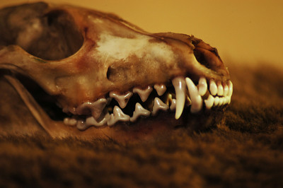 Fox Skull: Left/Detail.