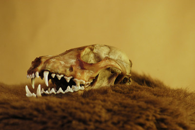 Fox Skull: Right/ Mouth Open