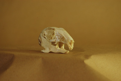 Rabbit Skull: Left