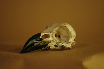 Crow Skull: Right