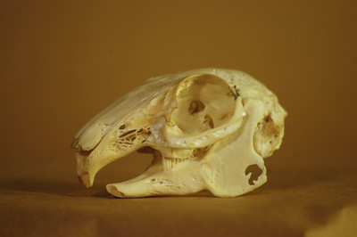 Rabbit Skull: Detail Right