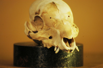 Baby Pig Skull/bottom jaw missing:Detail