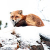 Red Fox, Yukon Wildlife Preserve.