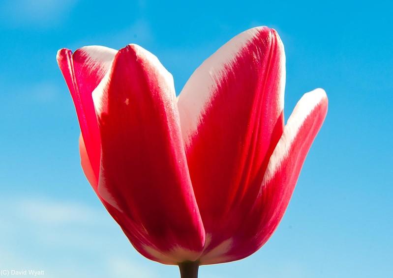 Tulip, Tesselaar Tulip Festival, Silvan
