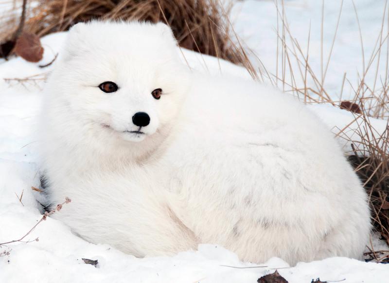 Arctic Fox, Yukon Wildlife Preserve.