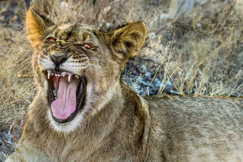 Black-Maned Lion Cub