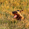 Alpha Wild Dog of Botswana