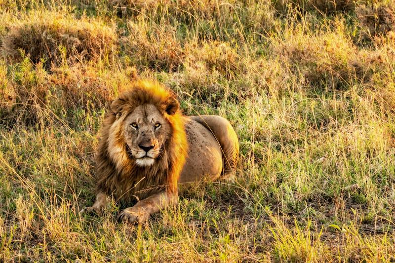 A Lion Celebrating the Sunrise