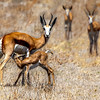 Springbok Mom and Calf