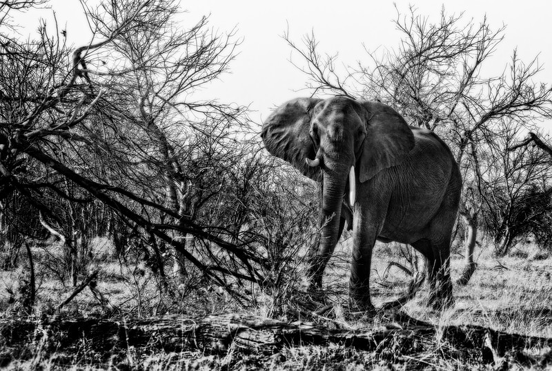 Charging Elephant in Black and White