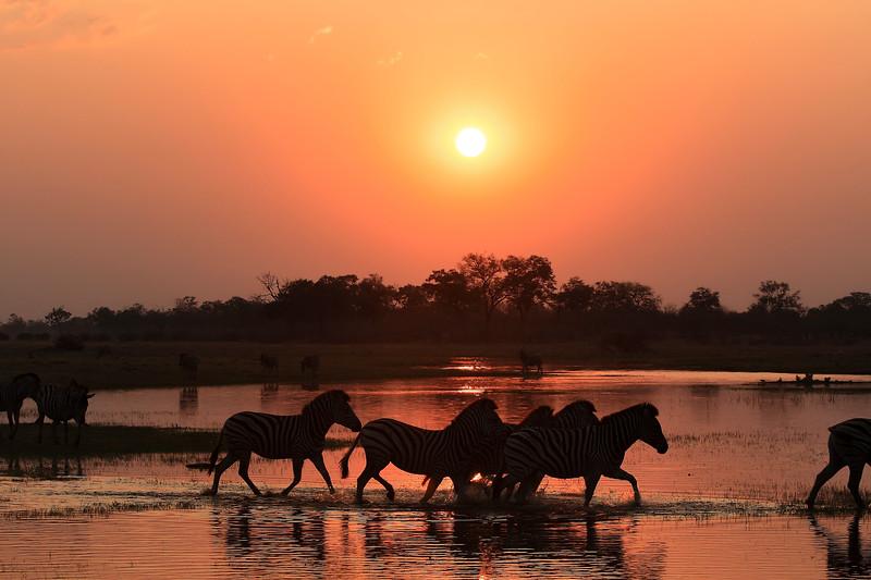 Zebra Sunset 5