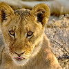 Watchful Lion Cub